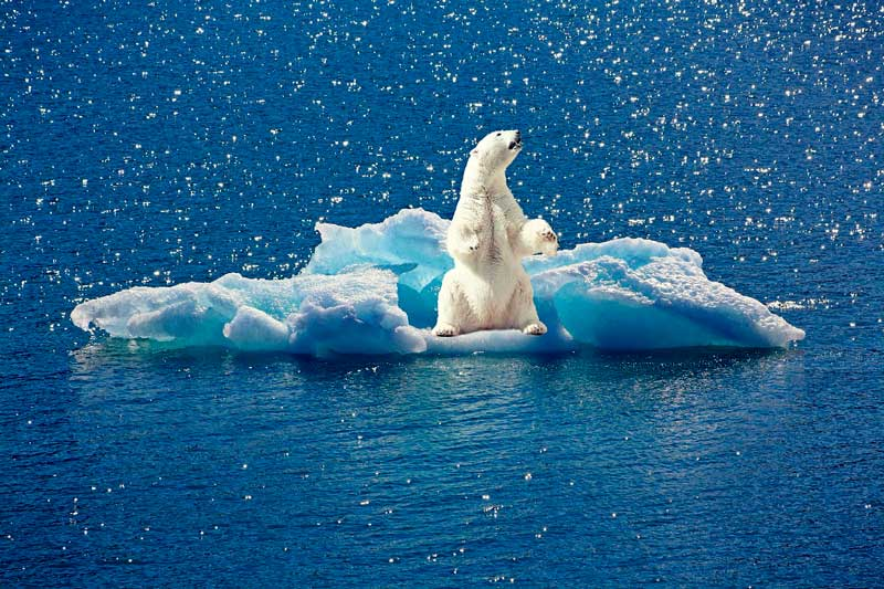 Isbjørn på isflage i havet